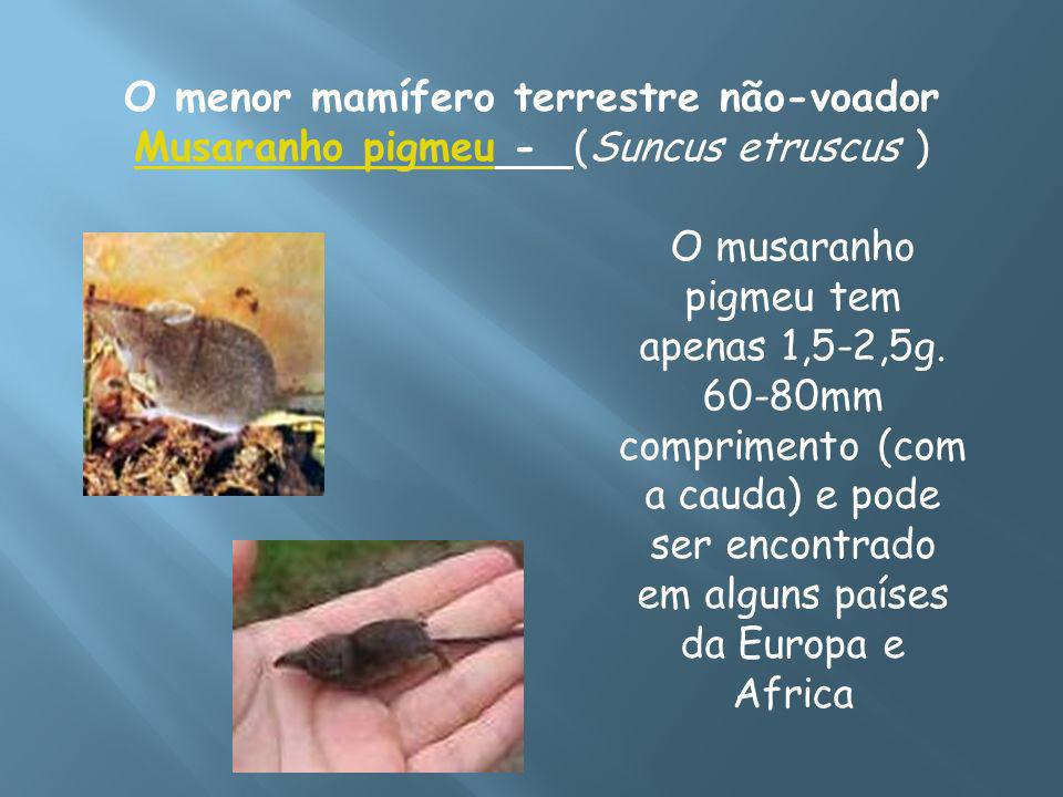 O menor mamífero terrestre não-voador Musaranho pigmeu - (Suncus etruscus ) Musaranho pigmeu O musaranho pigmeu tem apenas 1,5-2,5g. 60-80mm comprimen