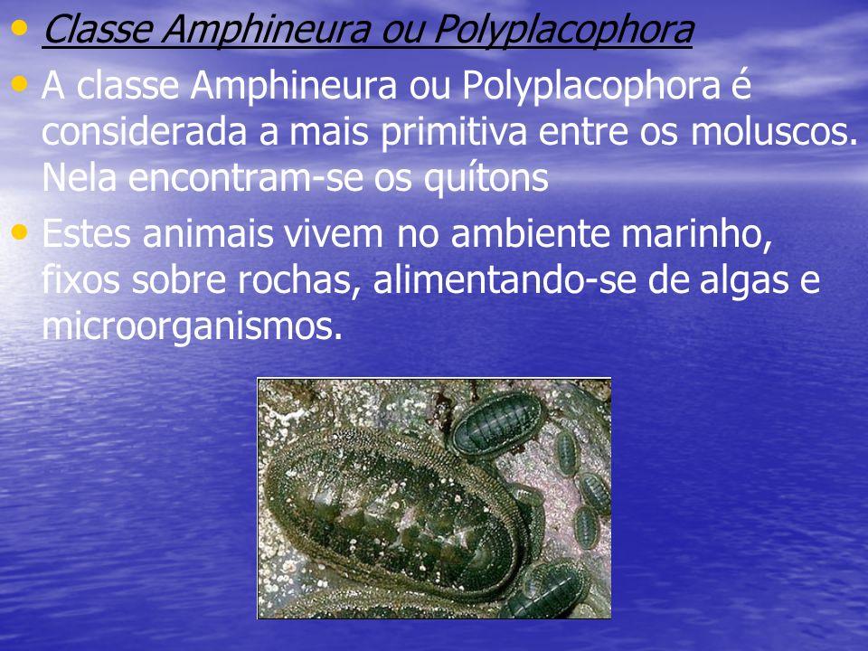 Classe Amphineura ou Polyplacophora A classe Amphineura ou Polyplacophora é considerada a mais primitiva entre os moluscos. Nela encontram-se os quíto