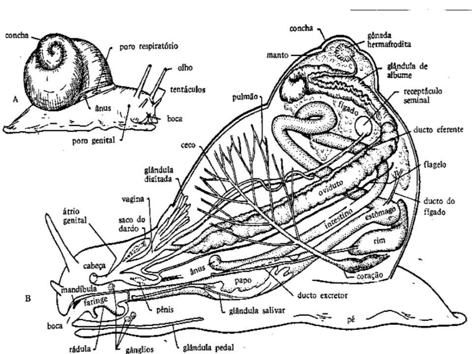 Classe Cephalopoda Os cefalópodes formam um grupo muito especializado dentro dos moluscos.