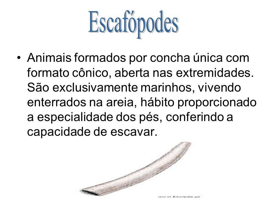 Animais formados por concha única com formato cônico, aberta nas extremidades. São exclusivamente marinhos, vivendo enterrados na areia, hábito propor
