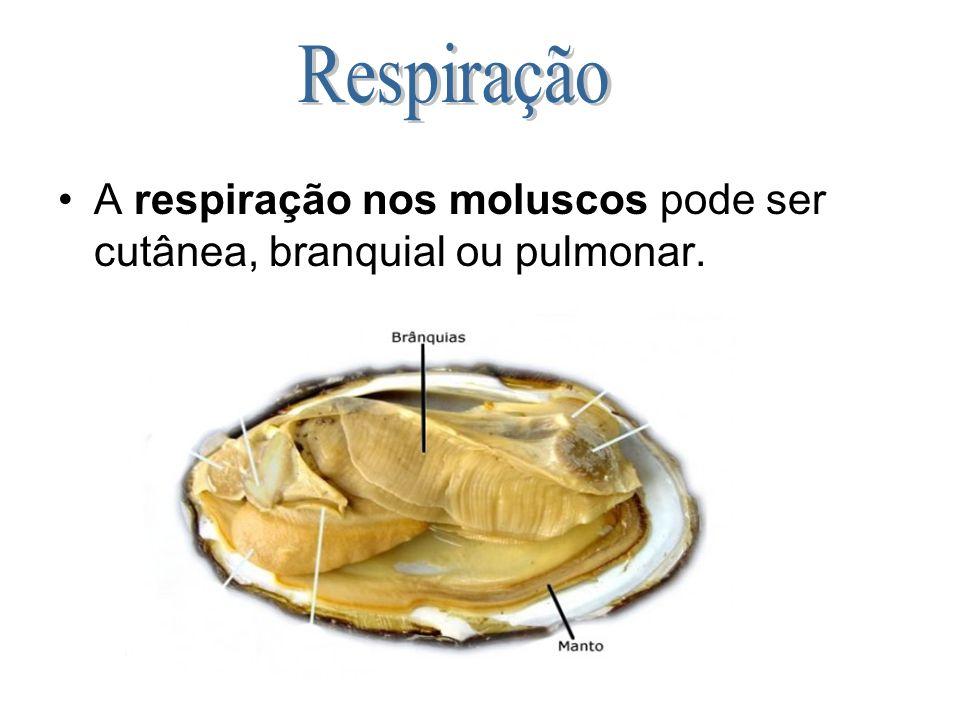 A respiração nos moluscos pode ser cutânea, branquial ou pulmonar.