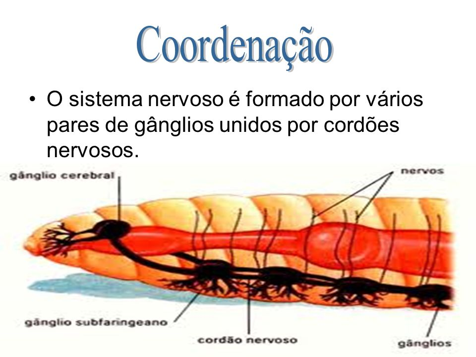 O sistema nervoso é formado por vários pares de gânglios unidos por cordões nervosos.