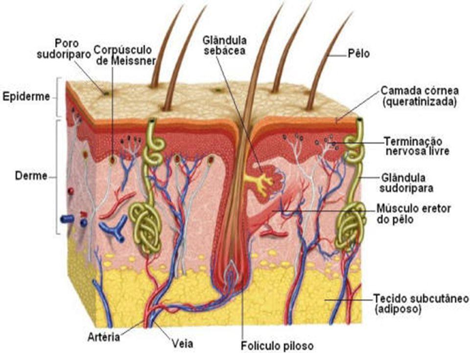 Glândulas exócrinas: Apresentam a porção secretora associada a dutos que lançam suas secreções para fora do corpo (como as glândulas sudoríparas, lacrimais, mamárias e sebáceas) ou para o interior de cavidades do corpo (como as glândulas salivares);