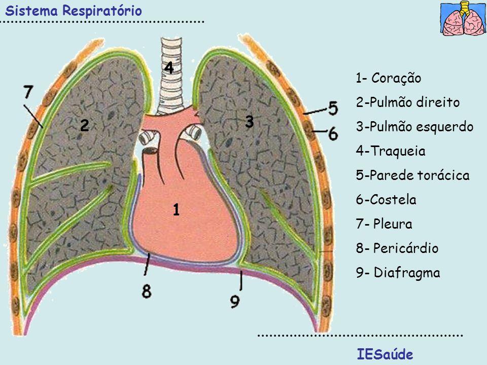 1 3 2 4 Sistema Respiratório IESaúde 1- Coração 2-Pulmão direito 3-Pulmão esquerdo 4-Traqueia 5-Parede torácica 6-Costela 7- Pleura 8- Pericárdio 9- D