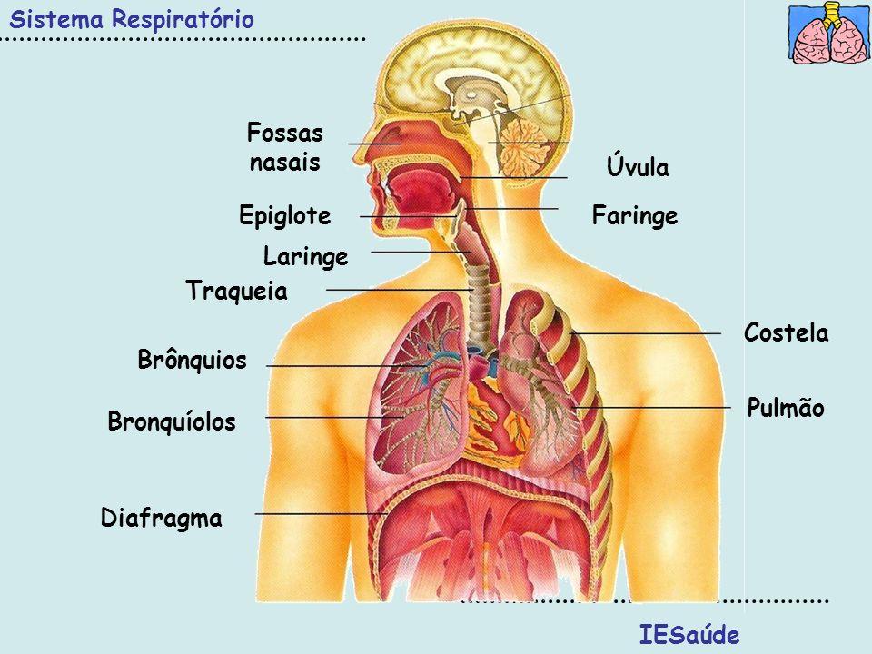 Sistema Respiratório IESaúde Fossas nasais Epiglote Diafragma Pulmão Costela Faringe Úvula Traqueia Brônquios Bronquíolos Laringe