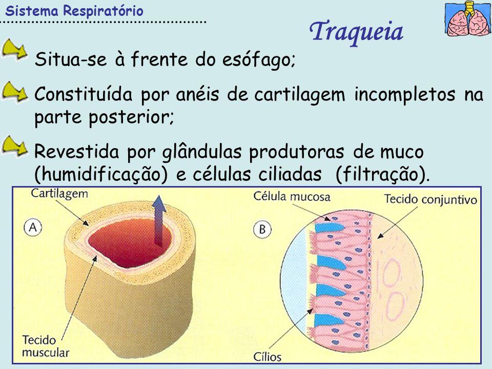 IESaúde Sistema Respiratório Traqueia Situa-se à frente do esófago; Constituída por anéis de cartilagem incompletos na parte posterior; Revestida por