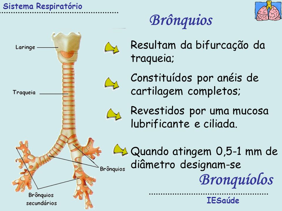 IESaúde Sistema Respiratório Brônquios Resultam da bifurcação da traqueia; Constituídos por anéis de cartilagem completos; Revestidos por uma mucosa l