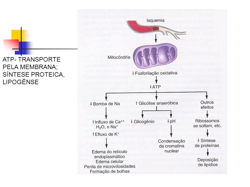 ATP- TRANSPORTE PELA MEMBRANA; SÍNTESE PROTEICA, LIPOGÊNSE