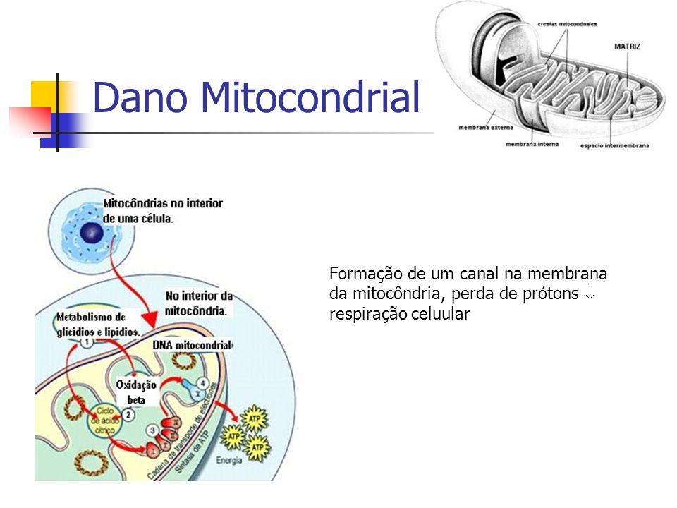 Dano Mitocondrial Formação de um canal na membrana da mitocôndria, perda de prótons respiração celuular