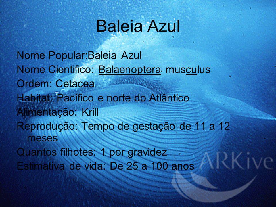 Baleia Azul Nome Popular:Baleia Azul Nome Cientifico: Balaenoptera musculus Ordem: Cetacea Habitat: Pacífico e norte do Atlântico Alimentação: Krill R