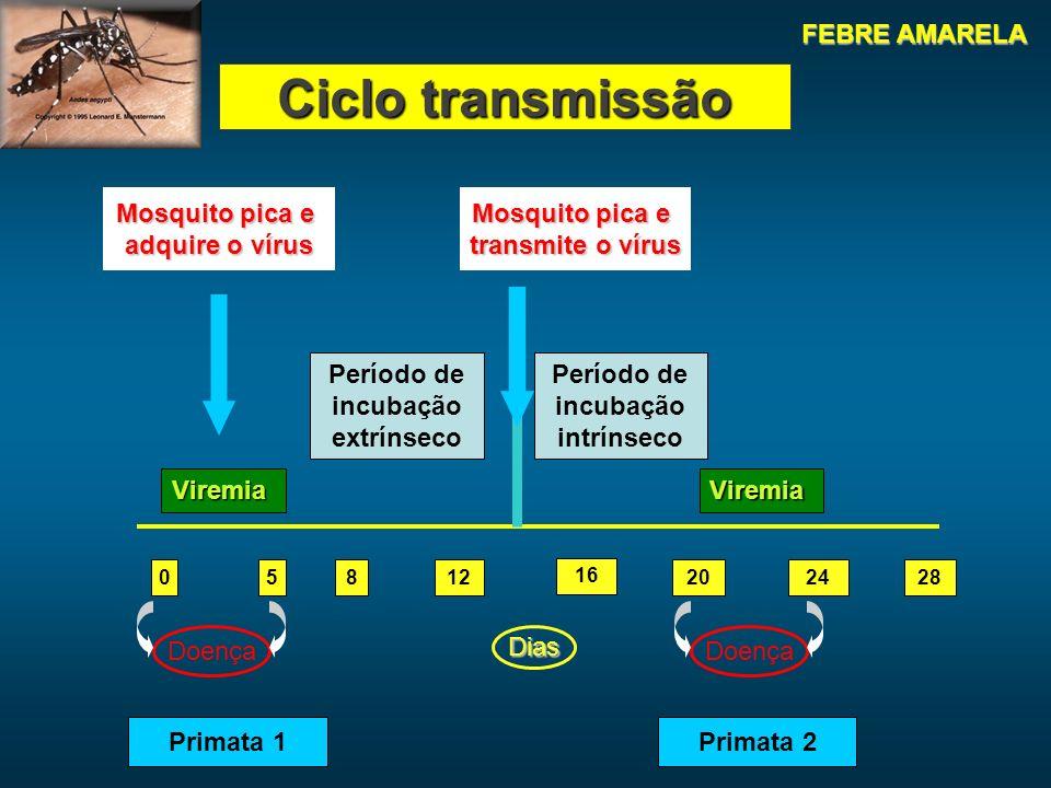 05812 16 202428 Dias Doença ViremiaViremia Mosquito pica e adquire o vírus Mosquito pica e transmite o vírus Período de incubação extrínseco Período de incubação intrínseco Primata 1Primata 2 Ciclo transmissão FEBRE AMARELA