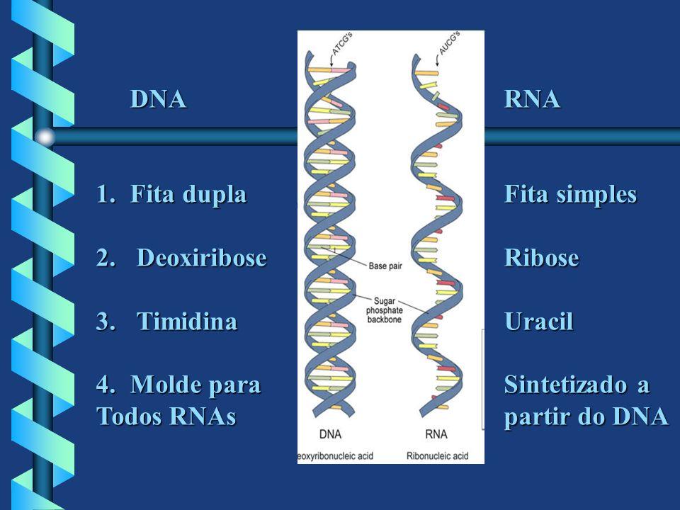 DNA RNA 1.Fita duplaFita simples 2. DeoxiriboseRibose 3. TimidinaUracil 4.Molde paraSintetizado a Todos RNAs partir do DNA partir do DNA