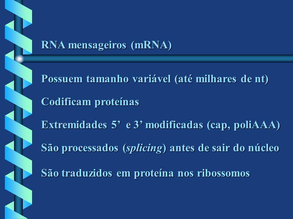 RNA mensageiros (mRNA) Possuem tamanho variável (até milhares de nt) Codificam proteínas Extremidades 5 e 3 modificadas (cap, poliAAA) São processados