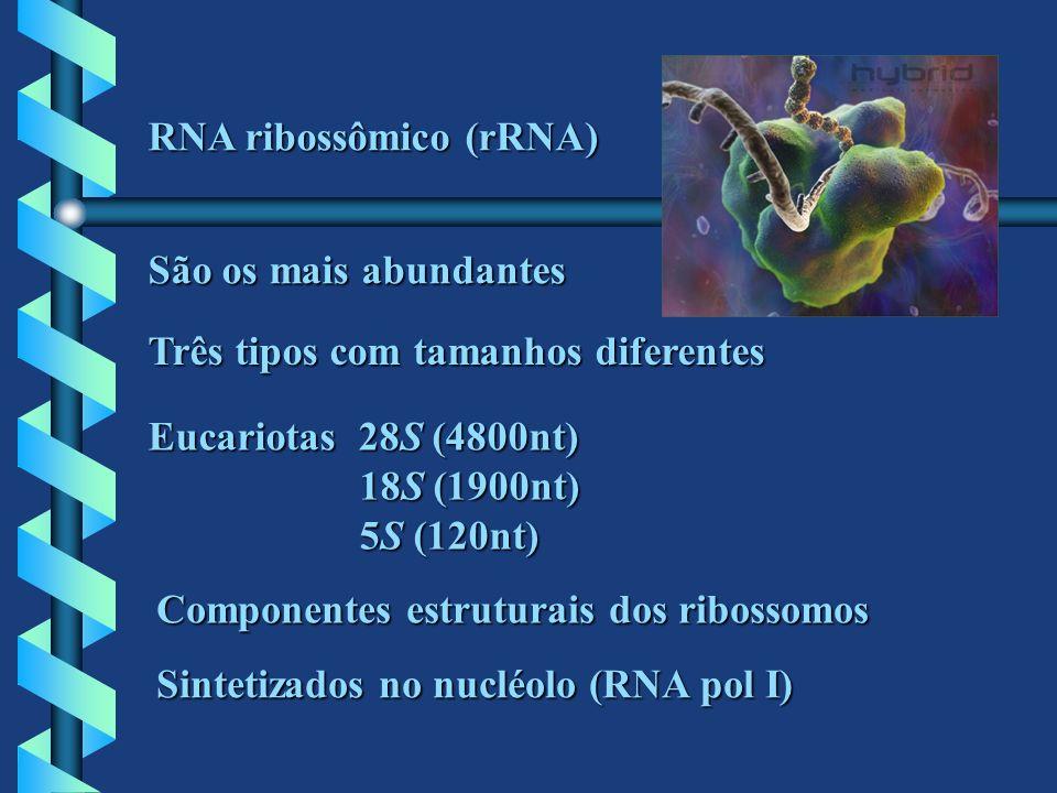 RNA ribossômico (rRNA) São os mais abundantes Três tipos com tamanhos diferentes Eucariotas 28S (4800nt) 18S (1900nt) 5S (120nt) Componentes estrutura