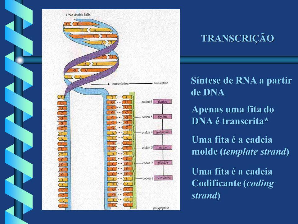 TRANSCRIÇÃO Síntese de RNA a partir de DNA Apenas uma fita do DNA é transcrita* Uma fita é a cadeia molde (template strand) Uma fita é a cadeia Codifi