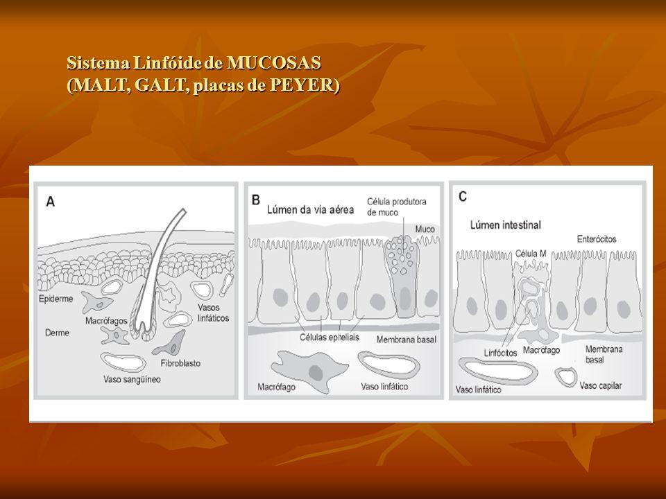 Sistema Linfóide de MUCOSAS (MALT, GALT, placas de PEYER)