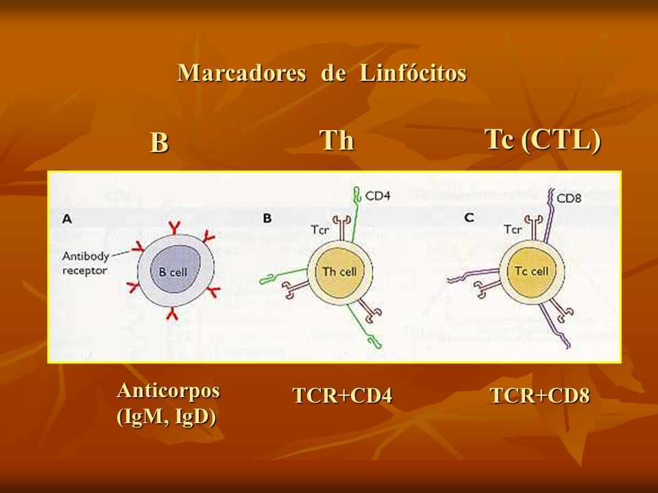 Marcadores de Linfócitos Anticorpos (IgM, IgD) TCR+CD4TCR+CD8 B Th Tc (CTL)