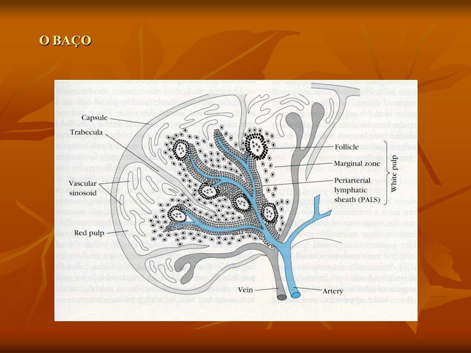 Sistema Linfóide de MUCOSAS (MALT, GALT, PEYER)