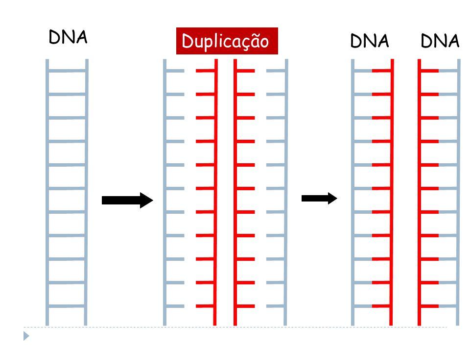 DNA DuplicaçãoDNA