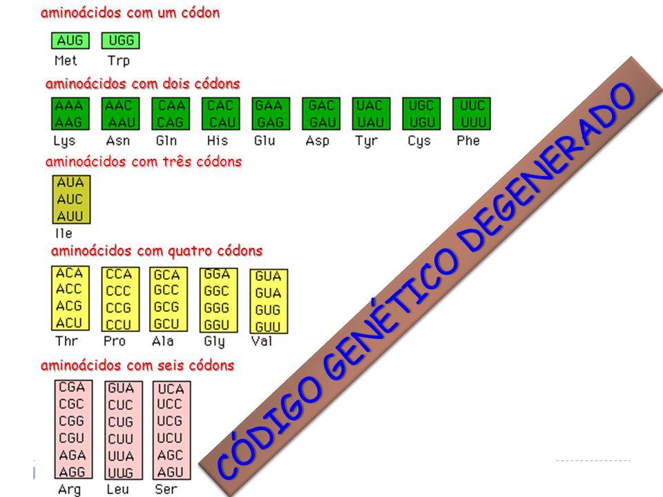 CÓDIGO GENÉTICO DEGENERADO aminoácidos com quatro códons aminoácidos com seis códons aminoácidos com três códons aminoácidos com dois códons aminoácid