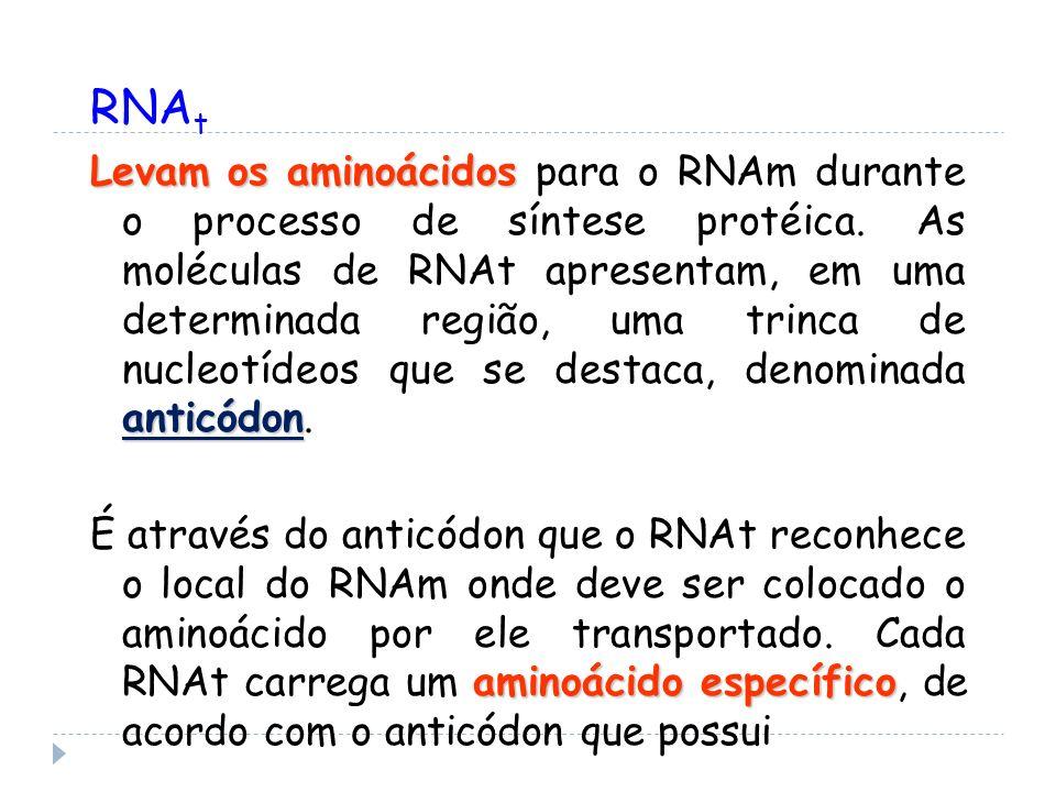 RNA t Levam os aminoácidos anticódon Levam os aminoácidos para o RNAm durante o processo de síntese protéica. As moléculas de RNAt apresentam, em uma