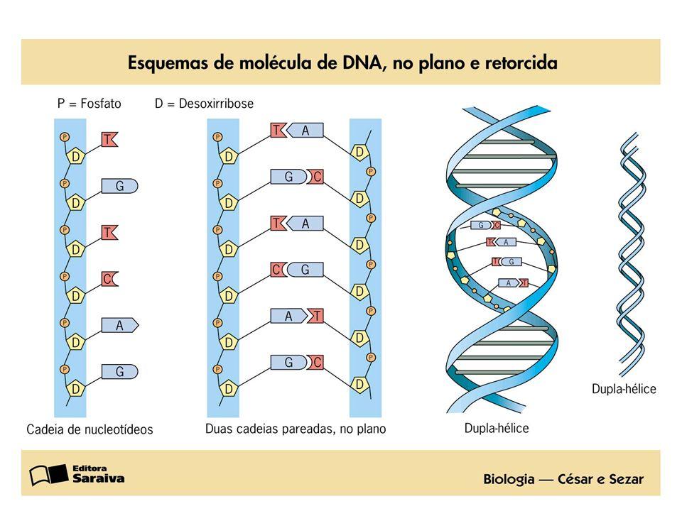 RNA Ácido Ribonucléico fita simples Molécula de fita simples É dividido em: RNAm RNA mensageiro (RNAm) RNAt RNA transportador (RNAt) RNAr RNA ribossômico (RNAr)