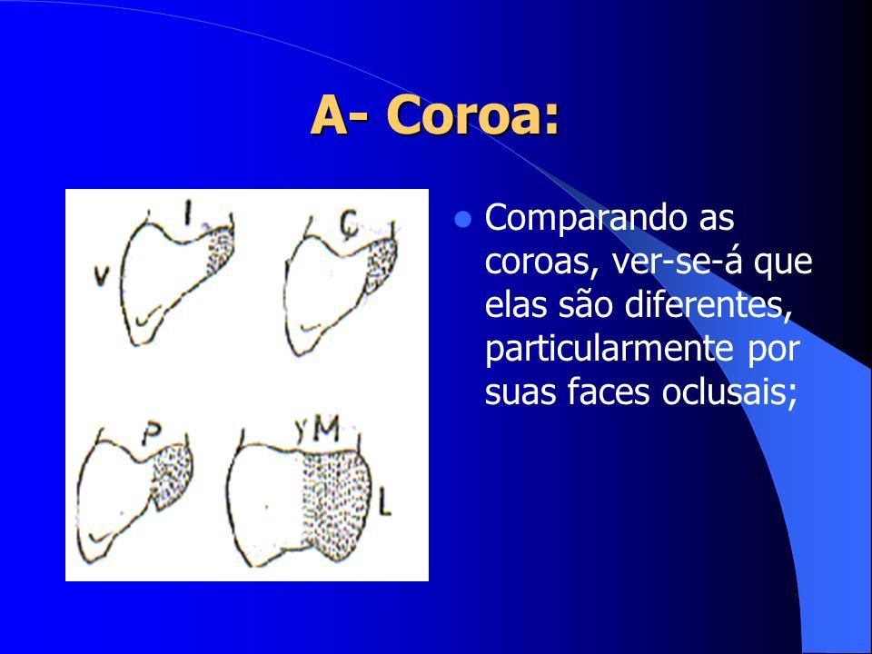 Comparando as coroas, ver-se-á que elas são diferentes, particularmente por suas faces oclusais;