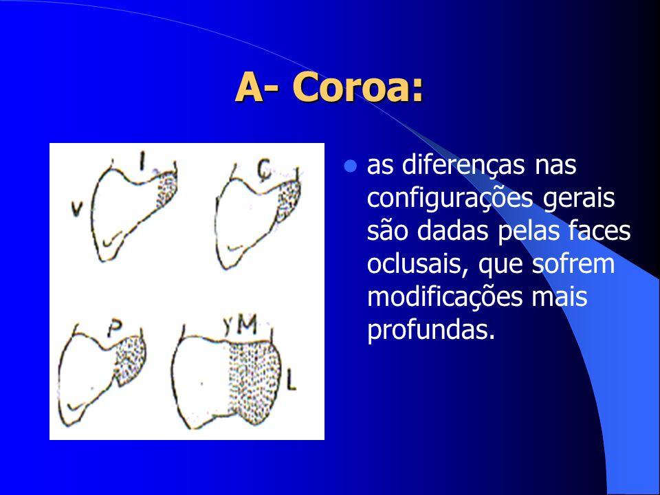 B – Colo Também chamado de porção cervical, é a área limítrofe entre coroa e raiz Colo ósseo: linha da raiz próxima à crista óssea