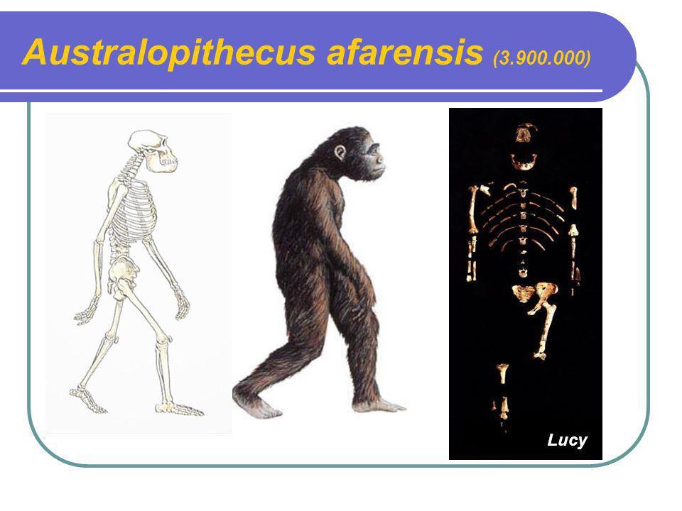 Australopithecus afarensis (3.900.000) Lucy