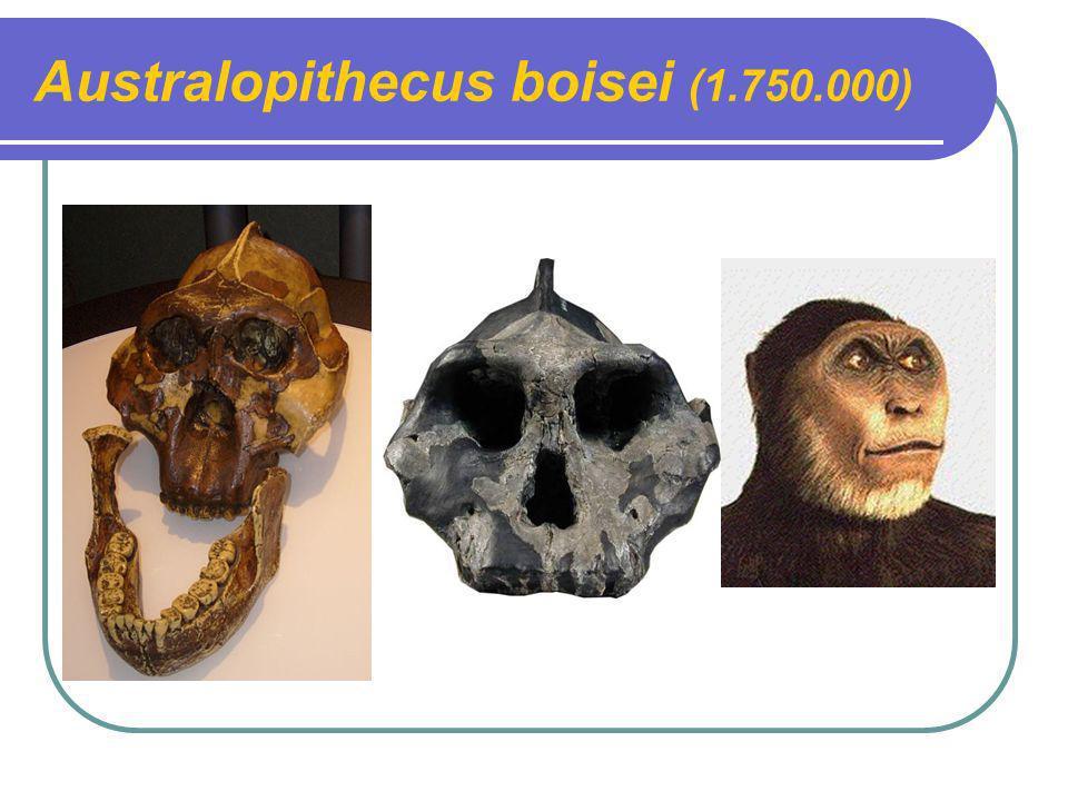Australopithecus boisei (1.750.000)