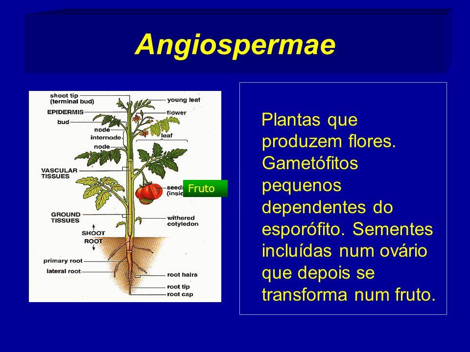 Angiospermae Plantas que produzem flores.Gametófitos pequenos dependentes do esporófito.