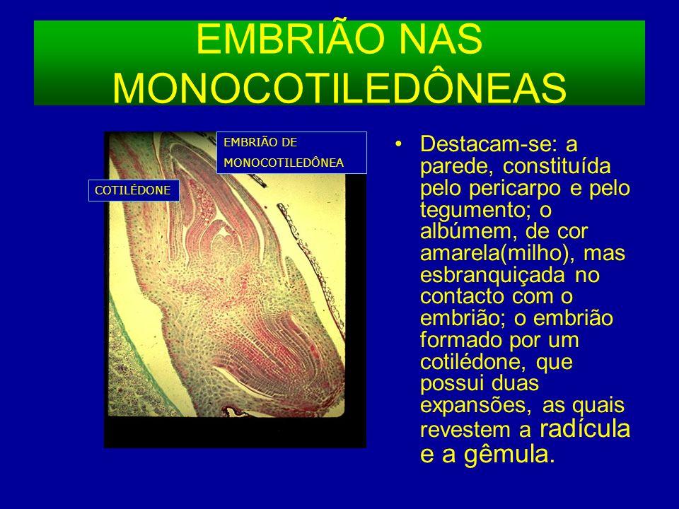 EMBRIÃO NAS MONOCOTILEDÔNEAS Destacam-se: a parede, constituída pelo pericarpo e pelo tegumento; o albúmem, de cor amarela(milho), mas esbranquiçada no contacto com o embrião; o embrião formado por um cotilédone, que possui duas expansões, as quais revestem a radícula e a gêmula.