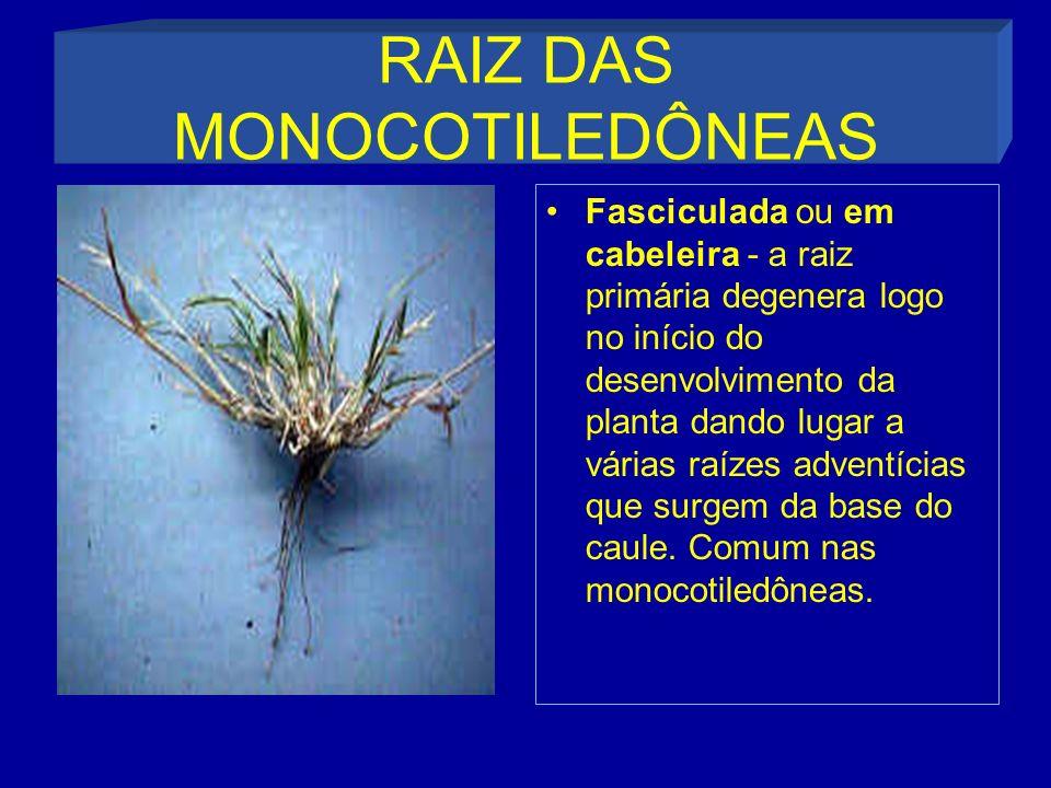 RAIZ DAS MONOCOTILEDÔNEAS Fasciculada ou em cabeleira - a raiz primária degenera logo no início do desenvolvimento da planta dando lugar a várias raízes adventícias que surgem da base do caule.
