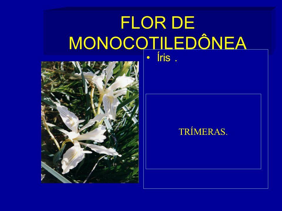FLOR DE MONOCOTILEDÔNEA Íris. TRÍMERAS.