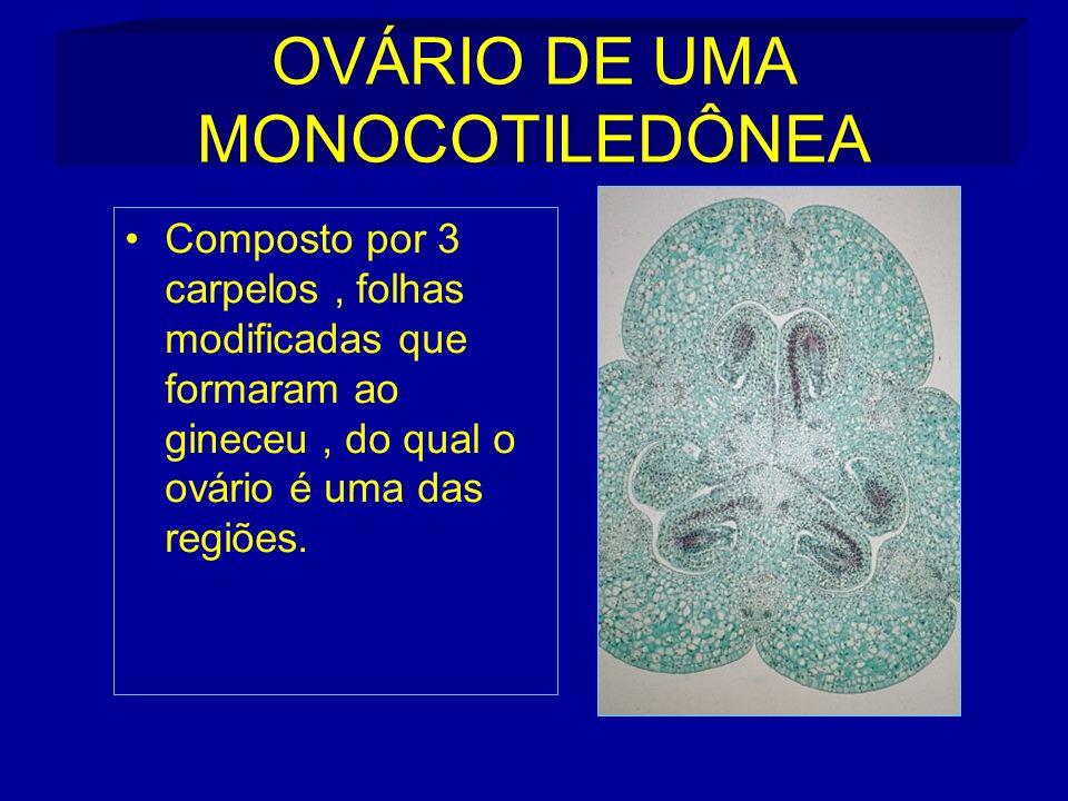 OVÁRIO DE UMA MONOCOTILEDÔNEA Composto por 3 carpelos, folhas modificadas que formaram ao gineceu, do qual o ovário é uma das regiões.