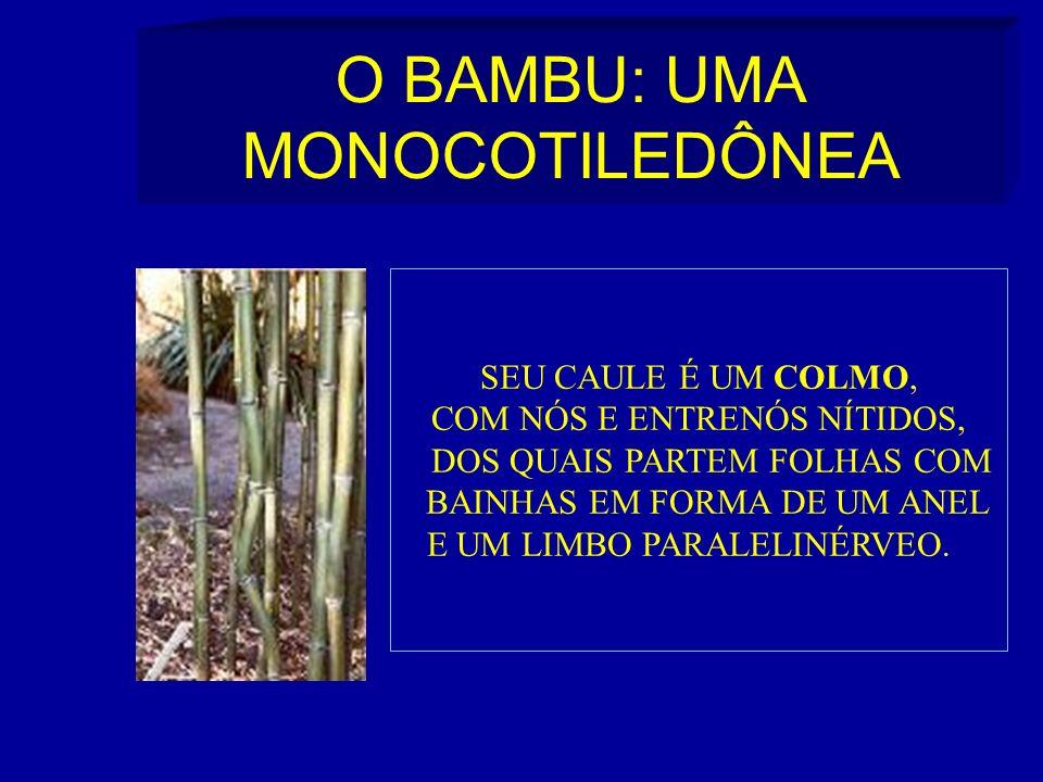 O BAMBU: UMA MONOCOTILEDÔNEA SEU CAULE É UM COLMO, COM NÓS E ENTRENÓS NÍTIDOS, DOS QUAIS PARTEM FOLHAS COM BAINHAS EM FORMA DE UM ANEL E UM LIMBO PARALELINÉRVEO.