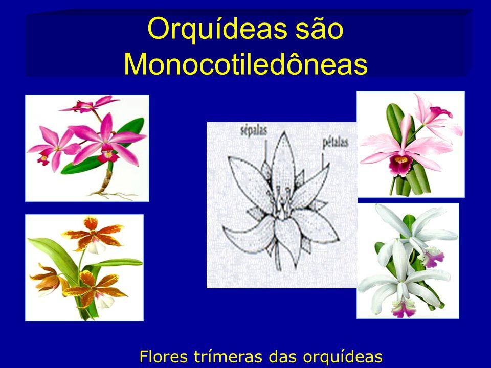 Orquídeas são Monocotiledôneas Flores trímeras das orquídeas