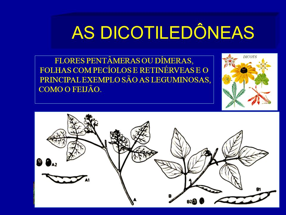 AS DICOTILEDÔNEAS FLORES PENTÂMERAS OU DÍMERAS, FOLHAS COM PECÍOLOS E RETINÉRVEAS E O PRINCIPAL EXEMPLO SÃO AS LEGUMINOSAS, COMO O FEIJÃO.