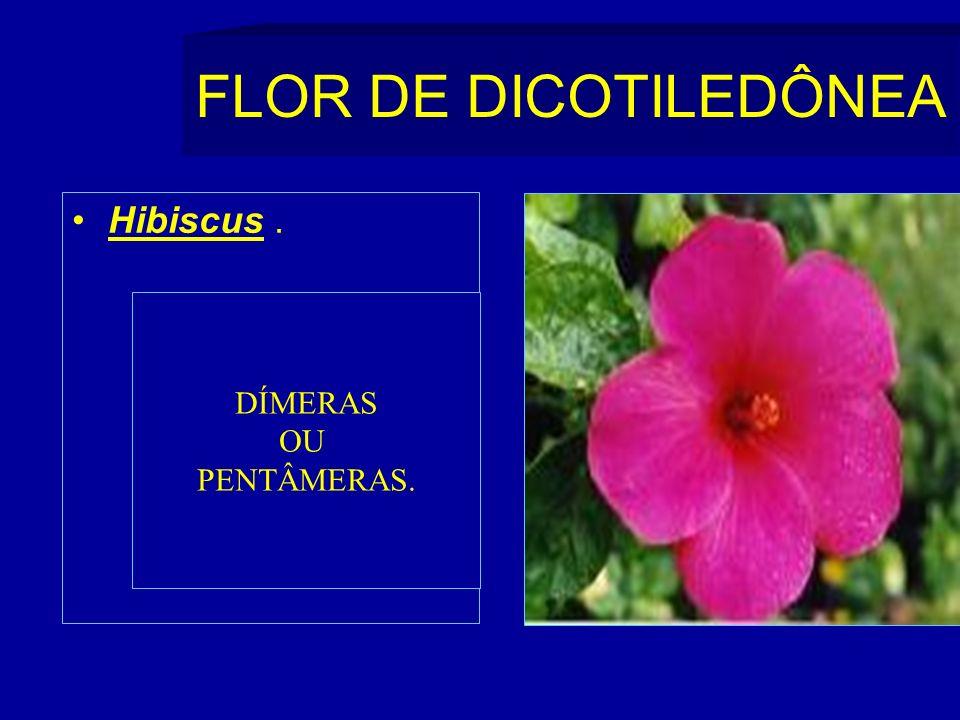 FLOR DE DICOTILEDÔNEA Hibiscus. DÍMERAS OU PENTÂMERAS.