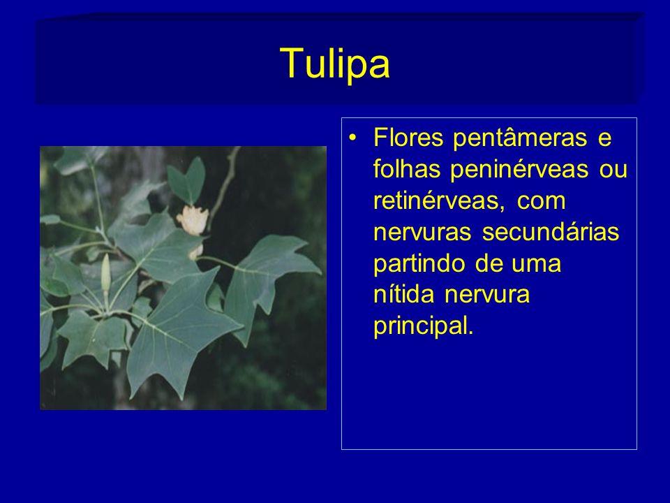 Tulipa Flores pentâmeras e folhas peninérveas ou retinérveas, com nervuras secundárias partindo de uma nítida nervura principal.
