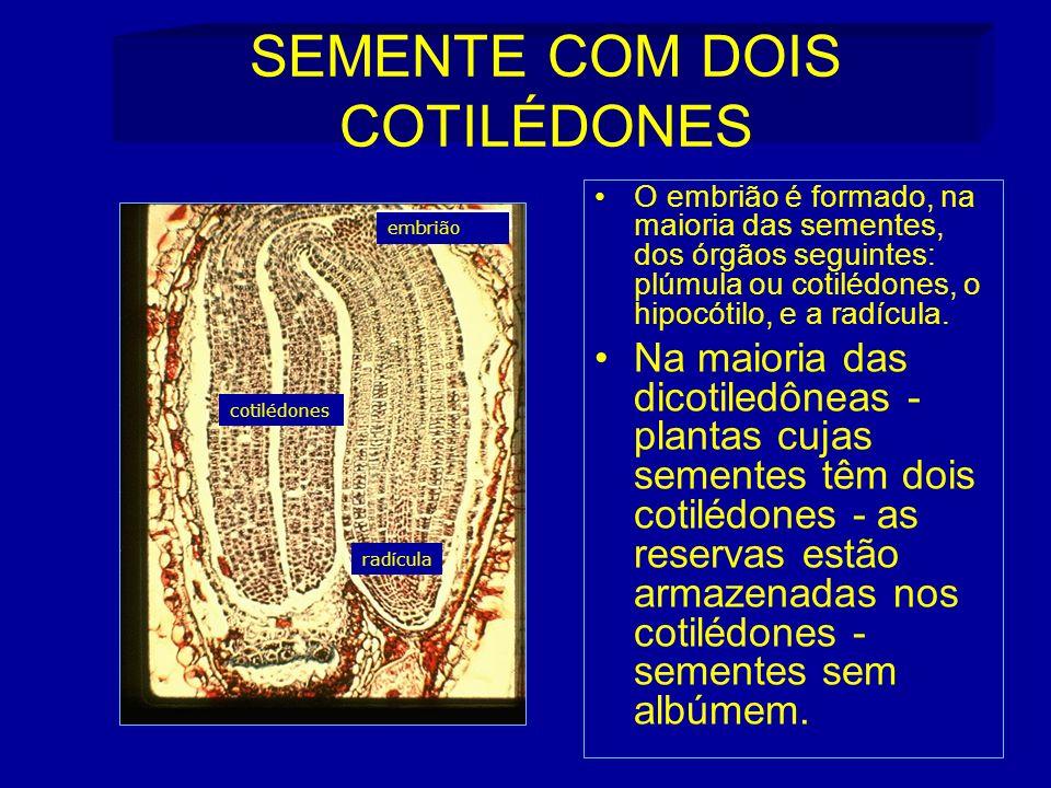 SEMENTE COM DOIS COTILÉDONES O embrião é formado, na maioria das sementes, dos órgãos seguintes: plúmula ou cotilédones, o hipocótilo, e a radícula.