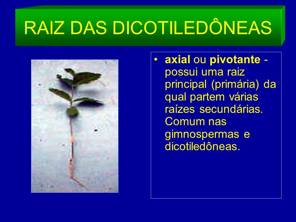 RAIZ DAS DICOTILEDÔNEAS axial ou pivotante - possui uma raiz principal (primária) da qual partem várias raízes secundárias.