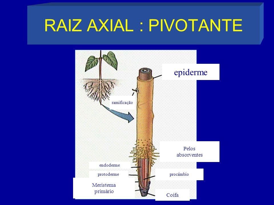 RAIZ AXIAL : PIVOTANTE epiderme ramificação endoderme protoderme Meristema primário procâmbio Coifa Pelos absorventes