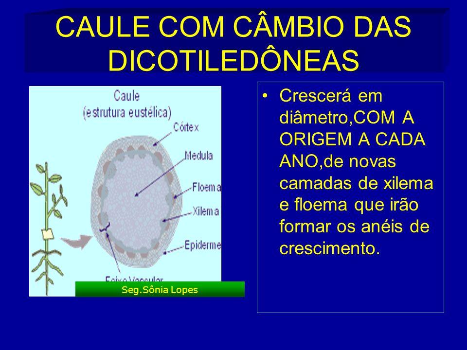 CAULE COM CÂMBIO DAS DICOTILEDÔNEAS Crescerá em diâmetro,COM A ORIGEM A CADA ANO,de novas camadas de xilema e floema que irão formar os anéis de crescimento.