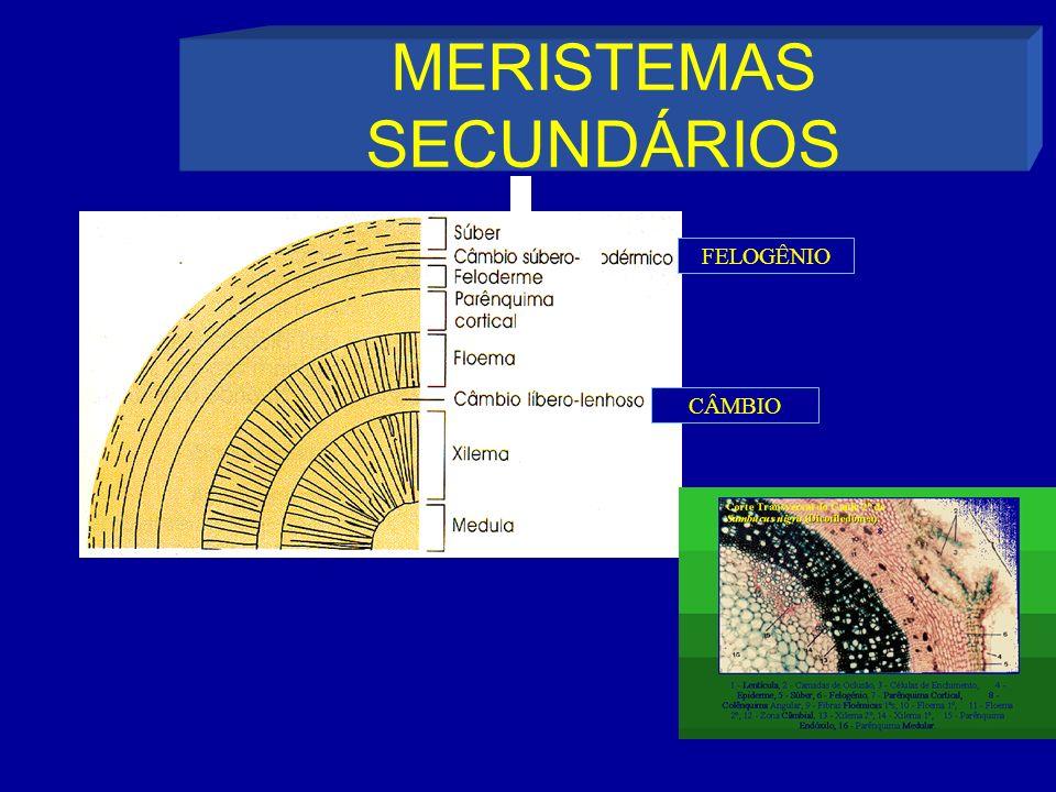 MERISTEMAS SECUNDÁRIOS FELOGÊNIO CÂMBIO