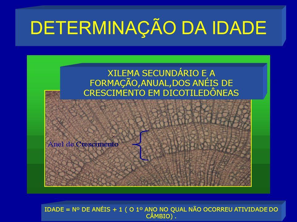 DETERMINAÇÃO DA IDADE XILEMA SECUNDÁRIO E A FORMAÇÃO,ANUAL,DOS ANÉIS DE CRESCIMENTO EM DICOTILEDÔNEAS IDADE = Nº DE ANÉIS + 1 ( O 1º ANO NO QUAL NÃO OCORREU ATIVIDADE DO CÂMBIO).