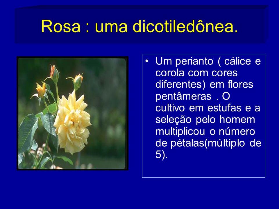 Rosa : uma dicotiledônea.Um perianto ( cálice e corola com cores diferentes) em flores pentâmeras.