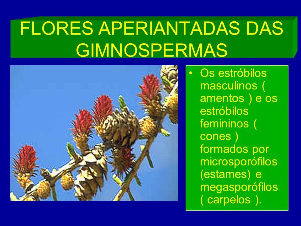 FLORES APERIANTADAS DAS GIMNOSPERMAS Os estróbilos masculinos ( amentos ) e os estróbilos femininos ( cones ) formados por microsporófilos (estames) e megasporófilos ( carpelos ).