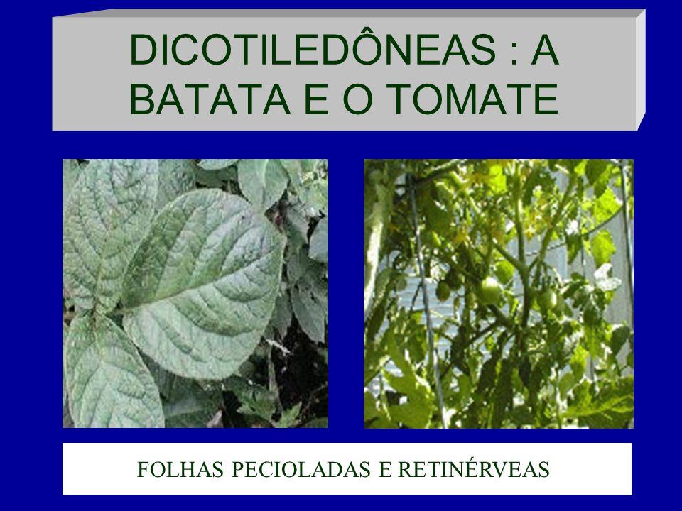 DICOTILEDÔNEAS : A BATATA E O TOMATE FOLHAS PECIOLADAS E RETINÉRVEAS.