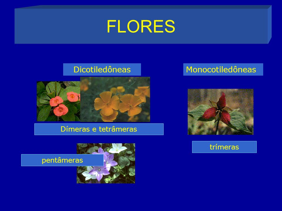 FLORES DicotiledôneasMonocotiledôneas Dímeras e tetrâmeras pentâmeras trímeras